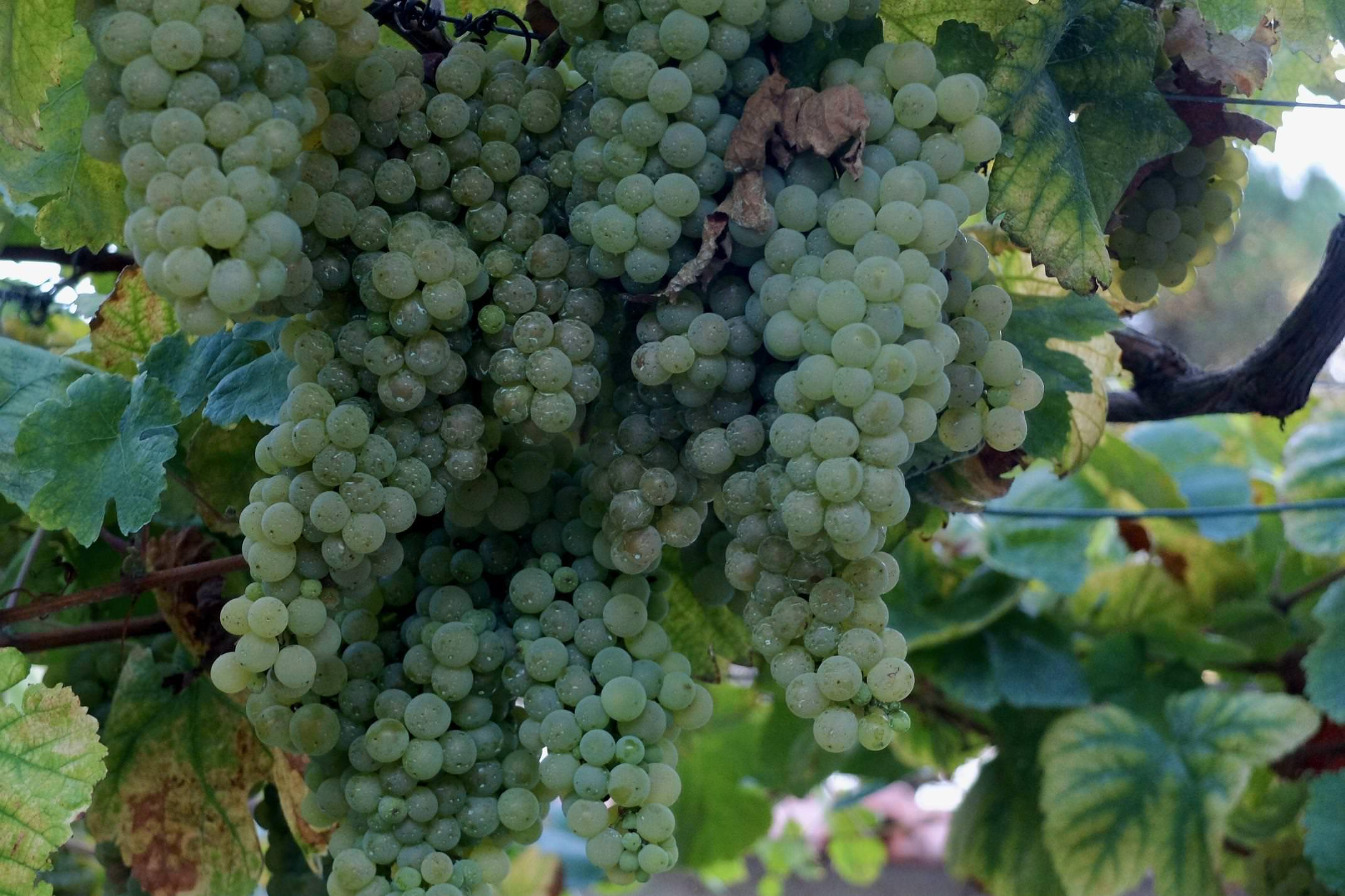 Portugal Minho Quinta do Ameal grapes