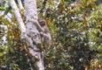 Costa rica caribbean puerto viejo cahuita sloth cropped