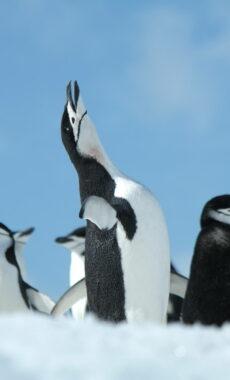 Antarctica half moon island chinstrap full mating call