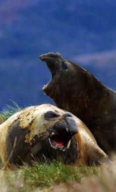 Chile argentina patagonia australis cruise elephant seals