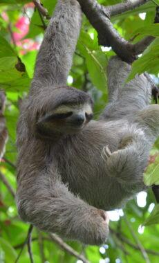 Costa rica cahuita sloth c gill ellis pura client