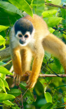 Costa rica osa peninsula squirrel monkey c pura aventura m power