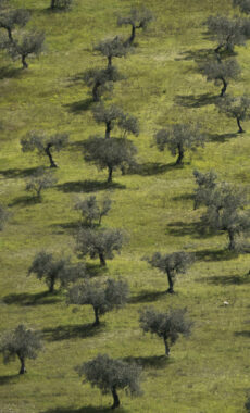 Portugal alvados olive trees cooking nature