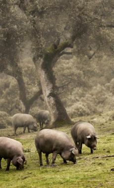 Spain andalucia aracena pigs dehesa c jarcosa