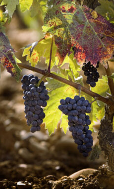 Spain rioja vineyard