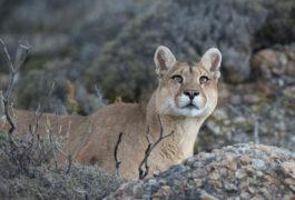 Argentina patagonia parque puma 2 c hernan povedano rewilding argentina