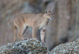 Argentina patagonia parque puma c hernan povedano rewilding argentina
