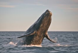 Argentina patagonia peninsula valdes right whale leaping