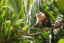 Costa rica caribbean cahuita national park white faced capuchin monkey 7 flipped