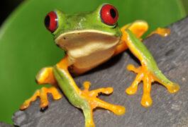 Costa rica corcovado frog
