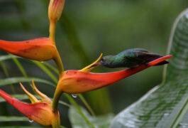 Costa rica osa peninsula hummingbird on heliconia flower c matt power