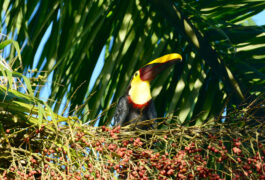 Costa rica osa peninsula toucan c matt power