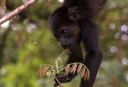 Costa rica samara black faced monkey baby four