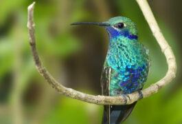 Ecuador cloudforest hummingbird
