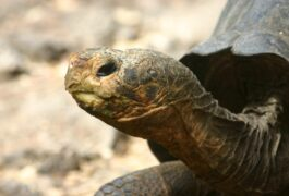 Ecuador galapagos islands giant tortoise profile