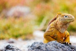 Ecuador galapagos islands land iguana endemic to the galapagos islands ecuador