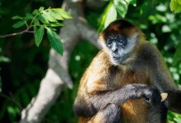 Nicaragua granada spider monkey close up c vapues