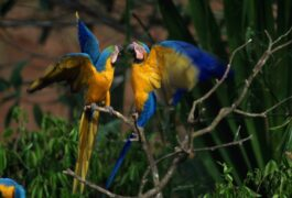 Peru amazon blue yellow macaws