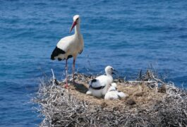 Portugal alentejo costa vicentina stork chicks pixabay