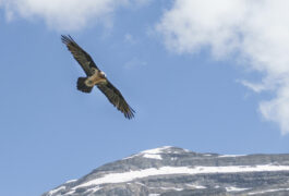 Spain huesca ordesa bearded vulture pura aventura