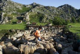Spain picos ruben milking belbin