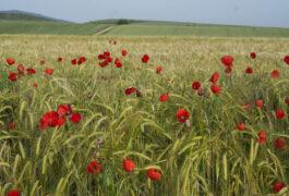 Spain rioja cereal poppy c dmartin