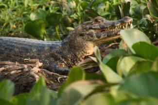 Brazil pantanal caiman amidst plants