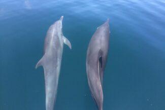 Costa rica osa peninsula golfo dulce dolphins