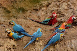 Peru amazon macaws clay lick