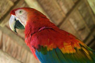 Peru amazon scarlet mackaw close up inside