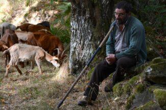 Spain camino de santiago shepherd tending flock in galicia