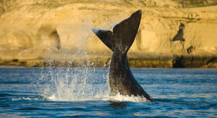 Argentina peninsula valdes southern right whale