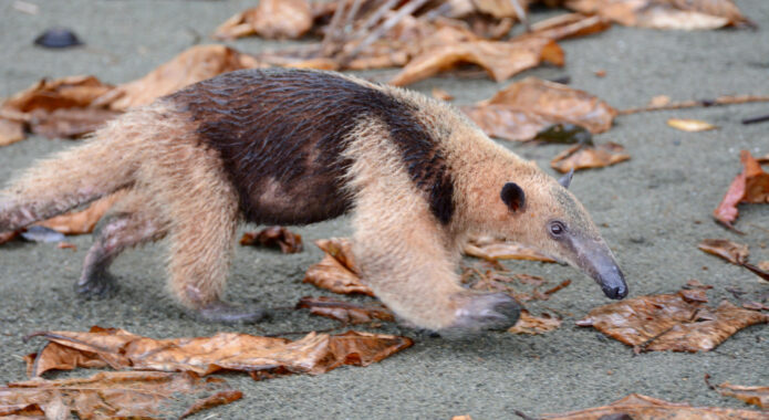 Costa rica osa peninsula anteater on corcovado beach c matt power
