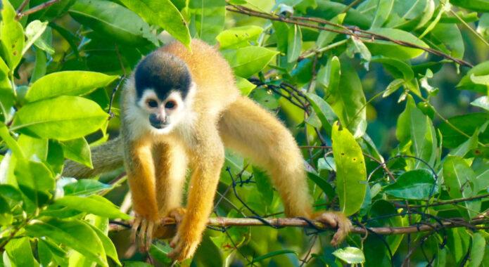 Costa rica osa peninsula squirrel monkey c pura aventura m power