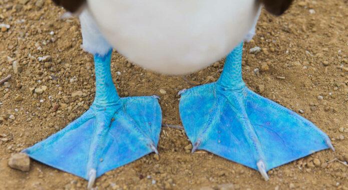 Ecuador galapagos islands close up of feet of a blue footed booby