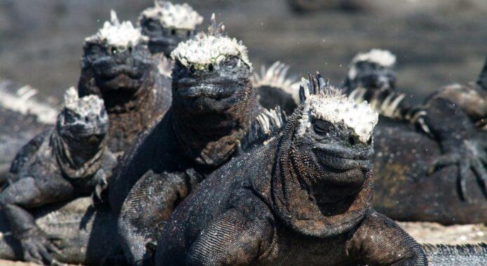 Ecuador galapagos islands marine iguana pile up fernandina island