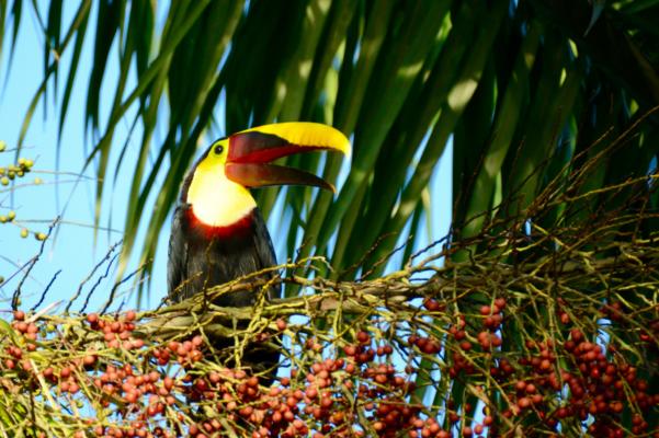 Costa rica osa peninsula laughing toucan c matt power