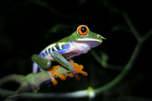 Costa rica tenorio night walk tree frog 2 c thomas power pura aventura