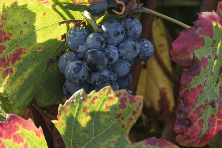 Portugal Douro leaves grapes fall two