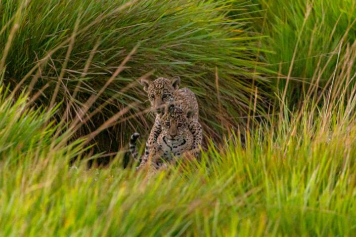 Argentina ibera jaguar release c rewilding argentina15