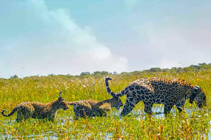 Argentina ibera jaguar release c rewilding argentina16