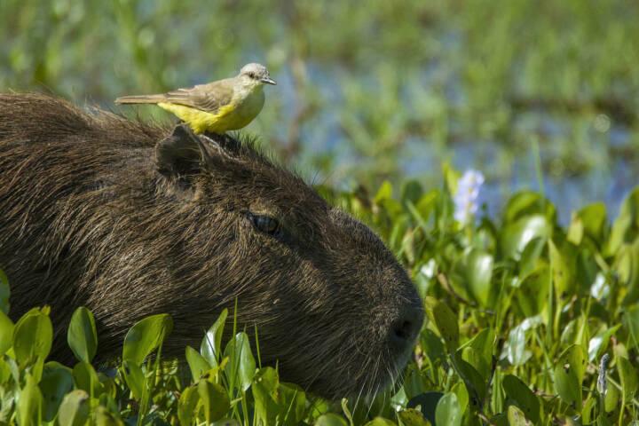 Argentina ibera wetlands capybara Carpincho rewilding c Rafael Abuin
