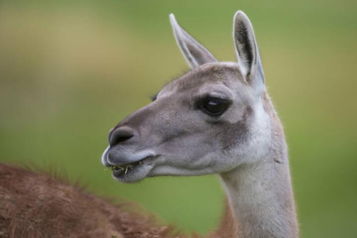 Argentina patagonia parque guanaco c hernan povedano rewilding argentina
