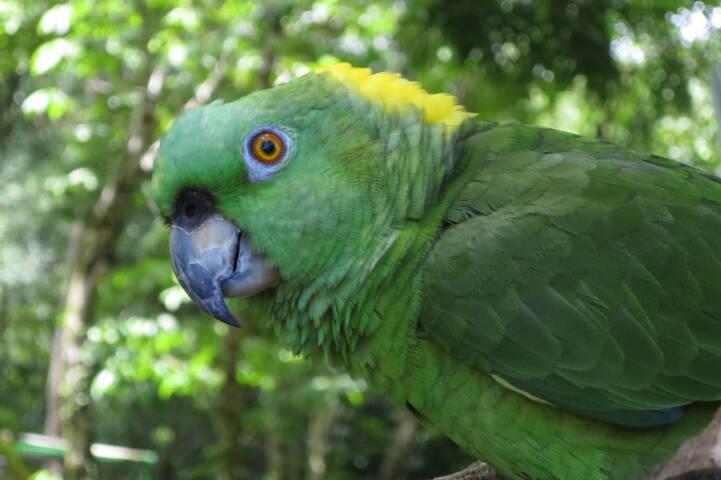 Costa rica dominical parrot c thomas power pura aventura