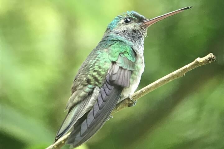 Costa rica matapalo hummingbird c thomas power pura aventura