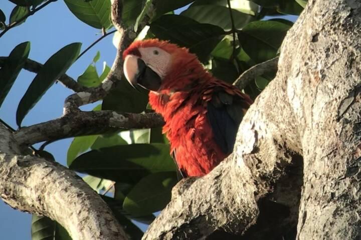 Costa rica matapalo scarlet macaw c thomas power pura aventura