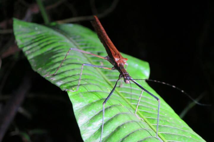 Costa rica tenorio night walk insect c thomas power pura aventura