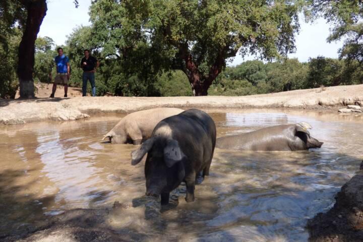 Spain andalucia aracena hills bathing pigs at jamones eiriz