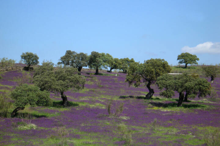 Spain andalucia blossomed fields dehesa