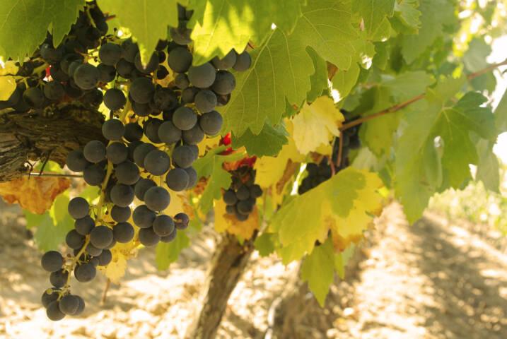 Spain rioja grapes chris bladon